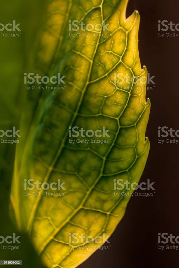 Detail of veins on a leaf in spring. stock photo