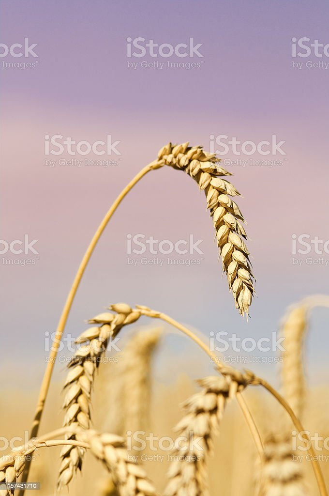 Detail of wheat stem against violet sky royalty-free stock photo