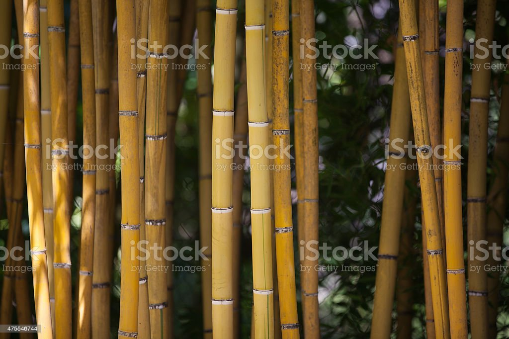 Detail of Yellow Bamboo Canes. stock photo