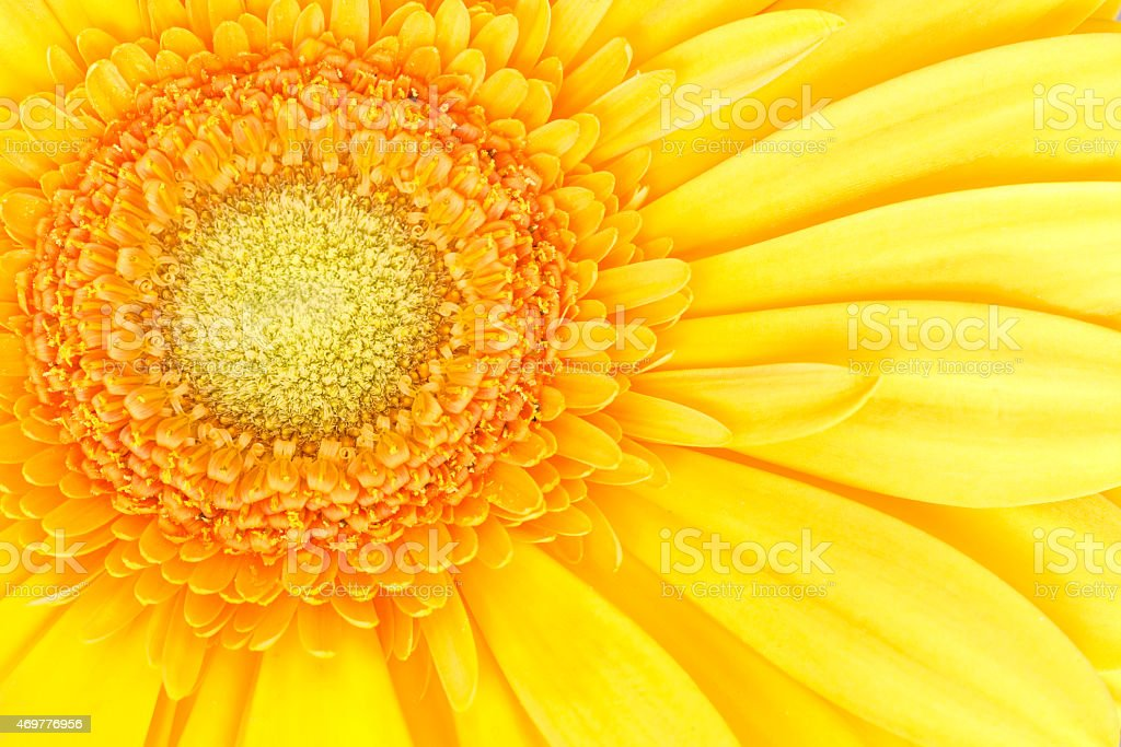 detail of yellow daisy flower head and petals stock photo