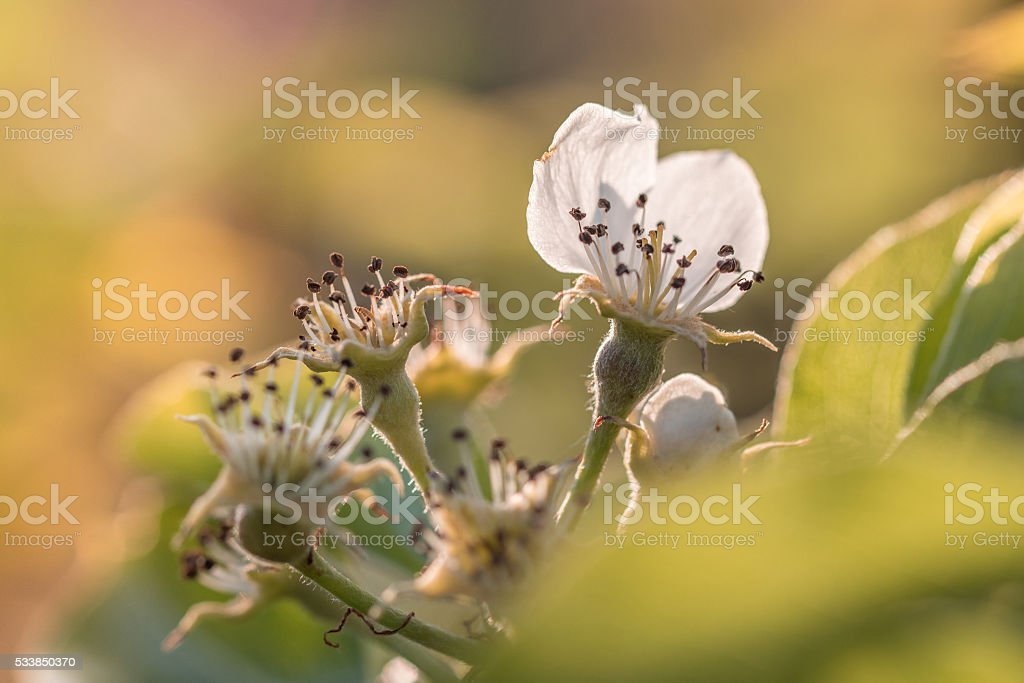 Detail on Flower Pear Tree with little Pear in Springtime stock photo
