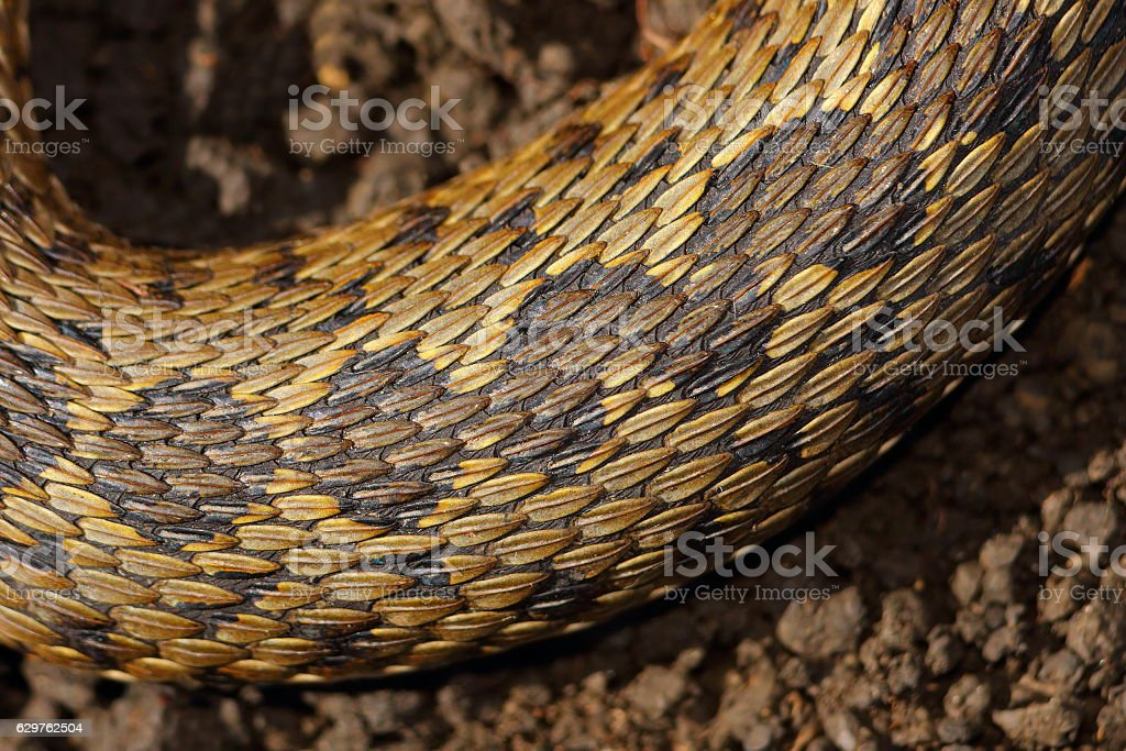 detail on skin of viper stock photo