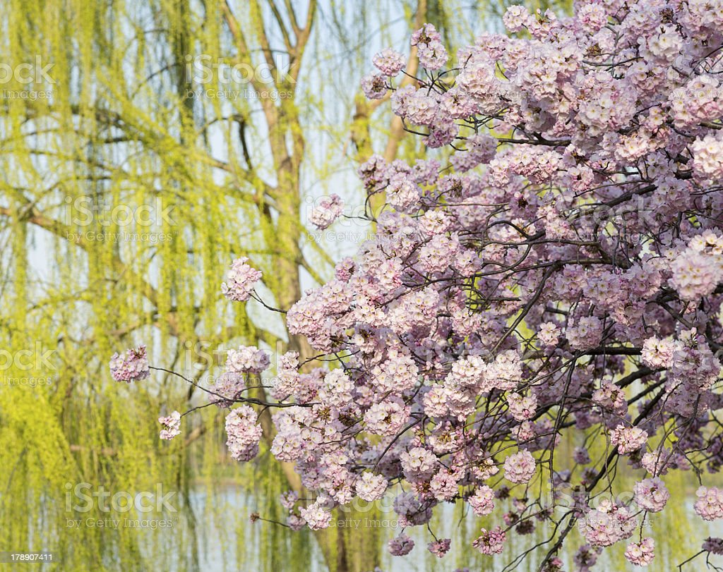 Detail photo of japanese cherry blossom flowers and willow tree royalty-free stock photo