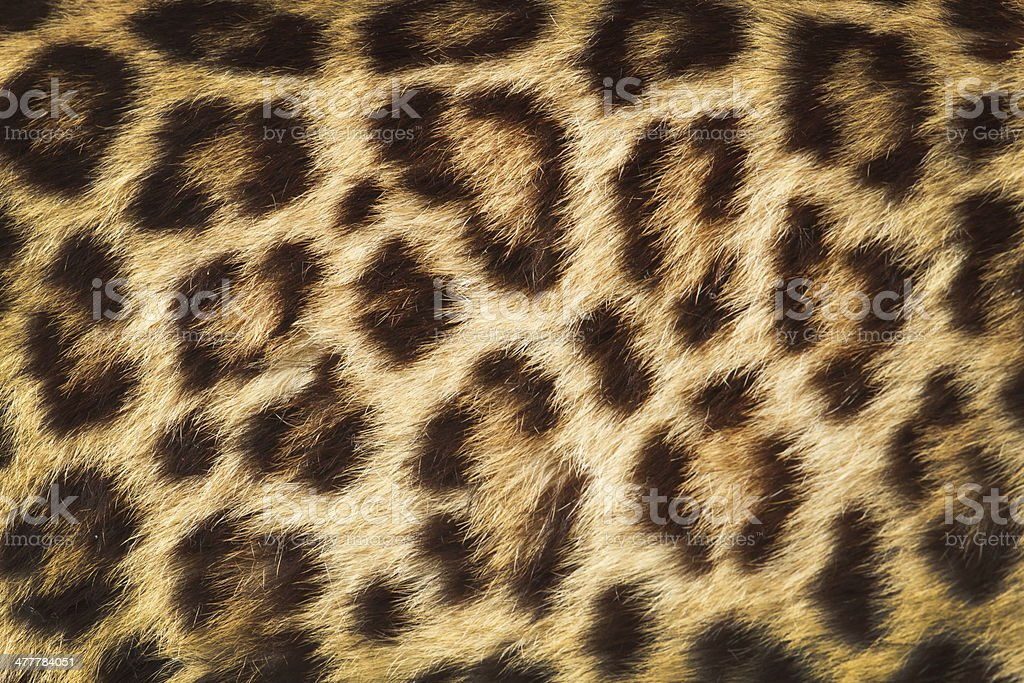 detail  skin  of  leopard royalty-free stock photo