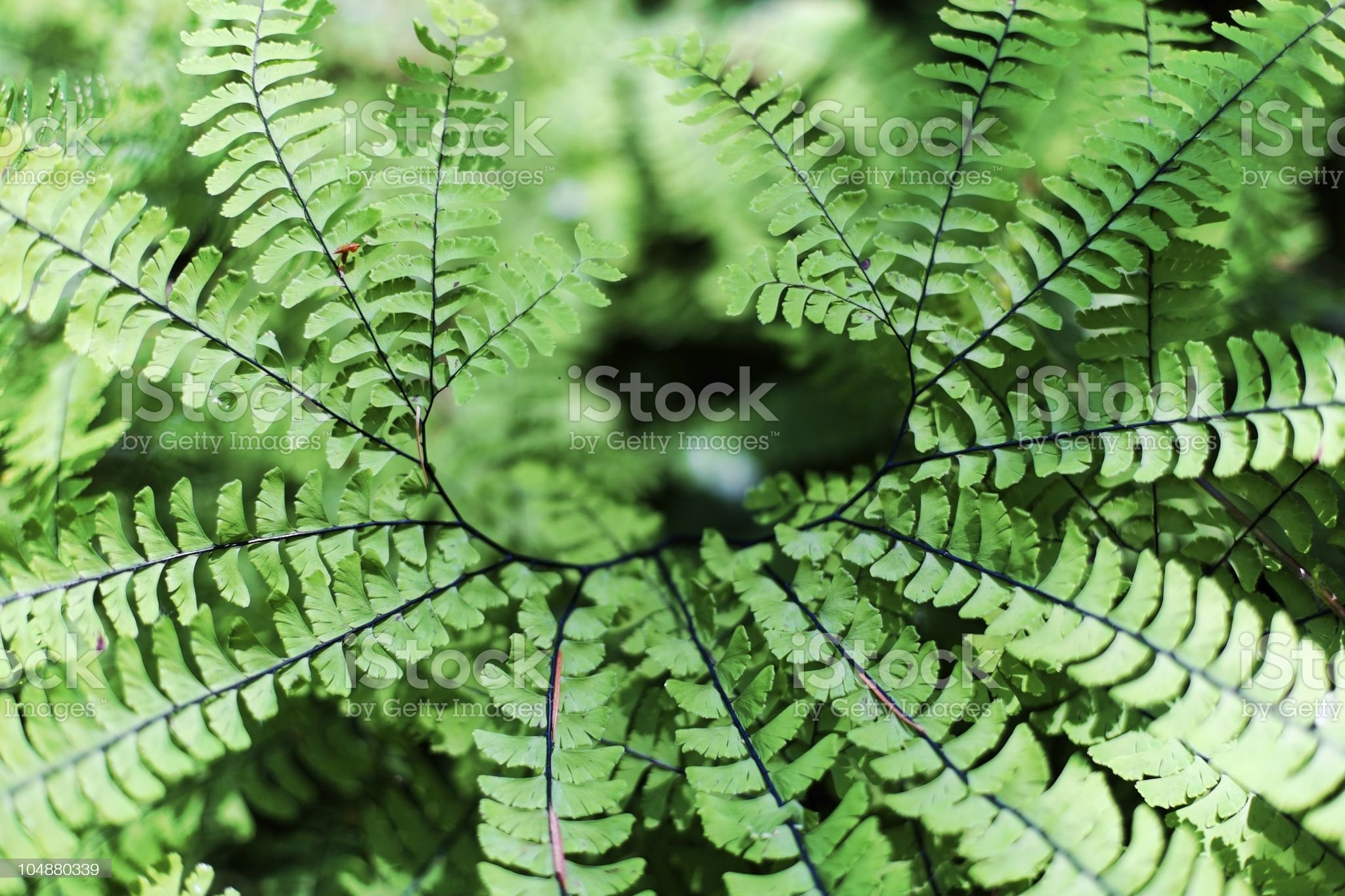 Detail view of a Maidenhair Fern, Adiantum pedatum royalty-free stock photo