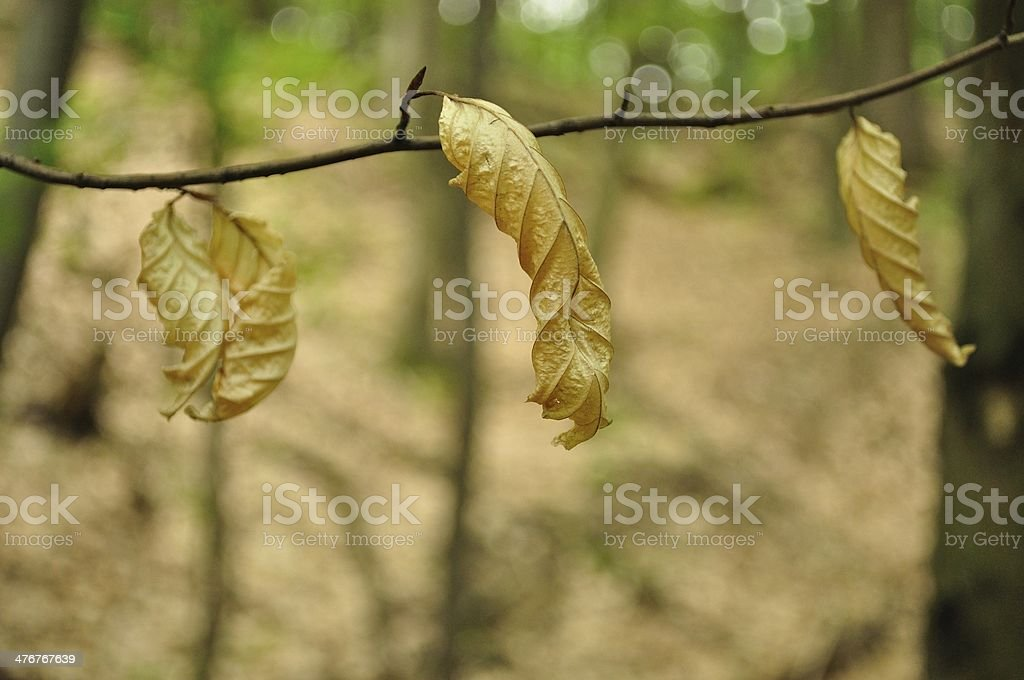 Detail view of three brown dry leaves royalty-free stock photo