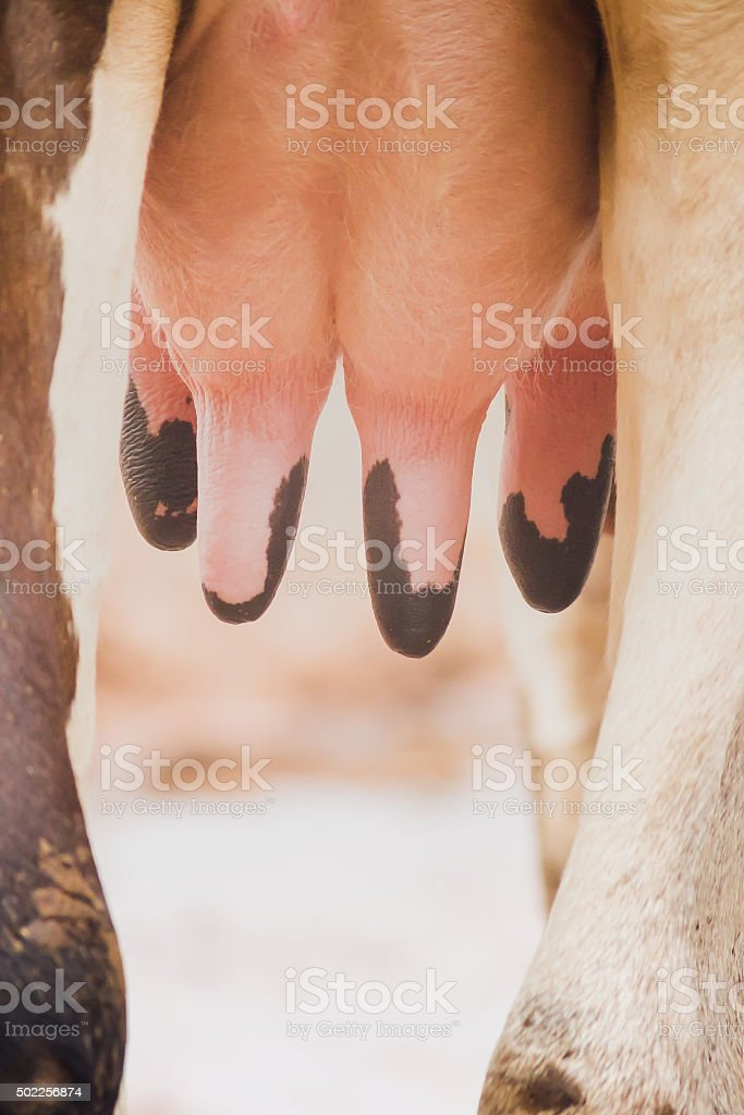 Detail with a full udder of cow. stock photo