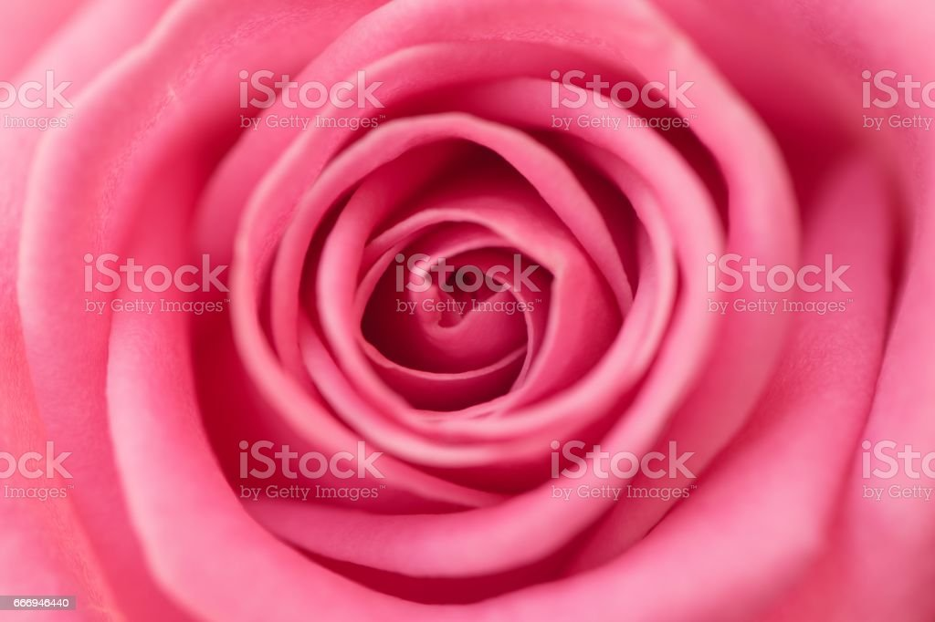 Detailed closeup of a blossoming pink rose stock photo