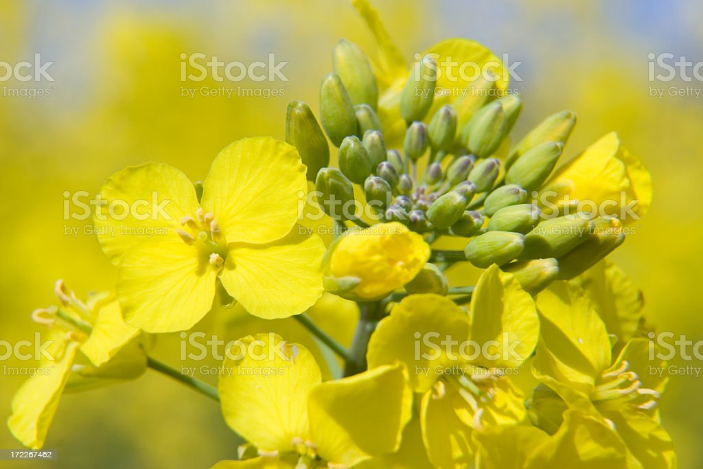 Detailed close-up of an oil seed flower with blurred back royalty-free stock photo