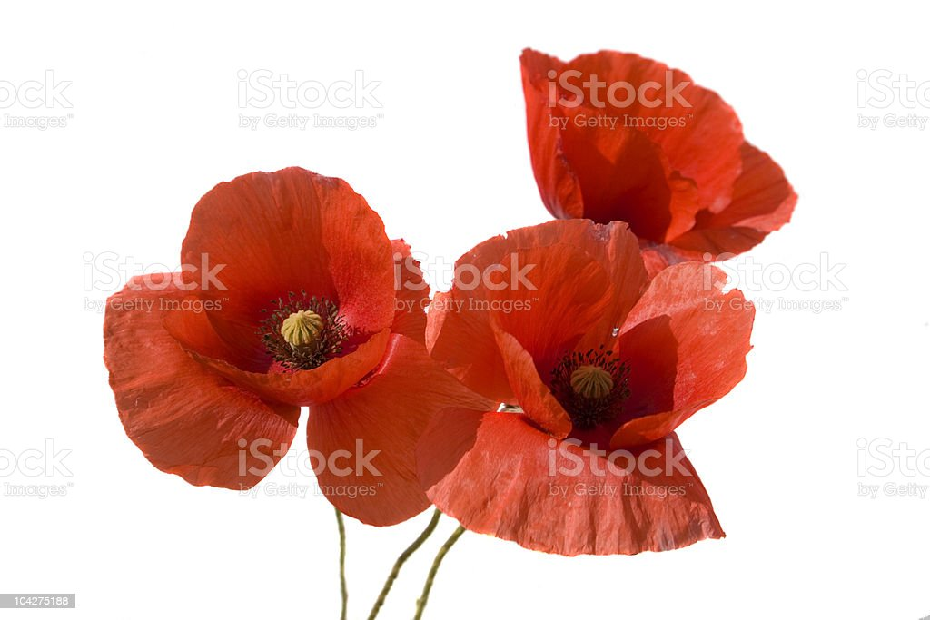 Detailed close-up of three poppies on a white background royalty-free stock photo
