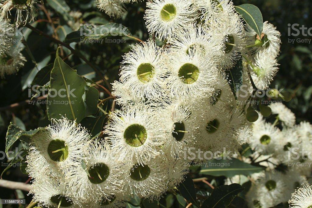 Detailed closeup of unique white eucalyptus flowers outdoors. stock photo