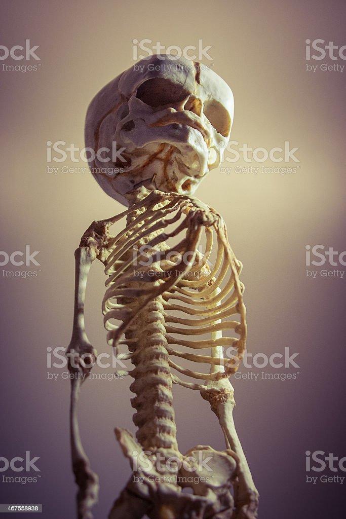 Detailed Fetal Skeleton Model royalty-free stock photo