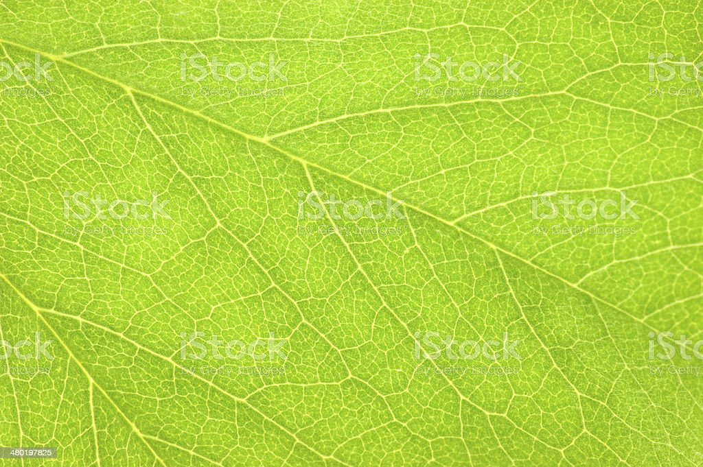 Detailed Green Leaf Macro Background Texture, Large Horizontal Pattern Closeup stock photo