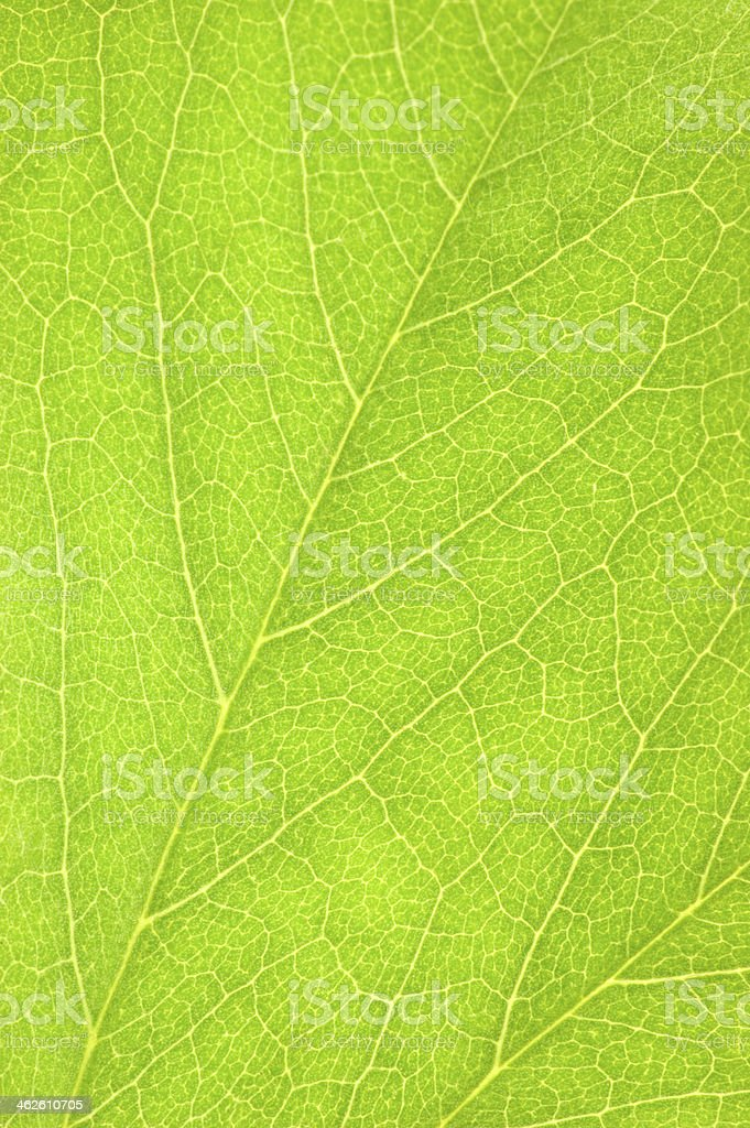 Detailed Green Leaf Macro Closeup Background Texture, Vertical Copy Space stock photo