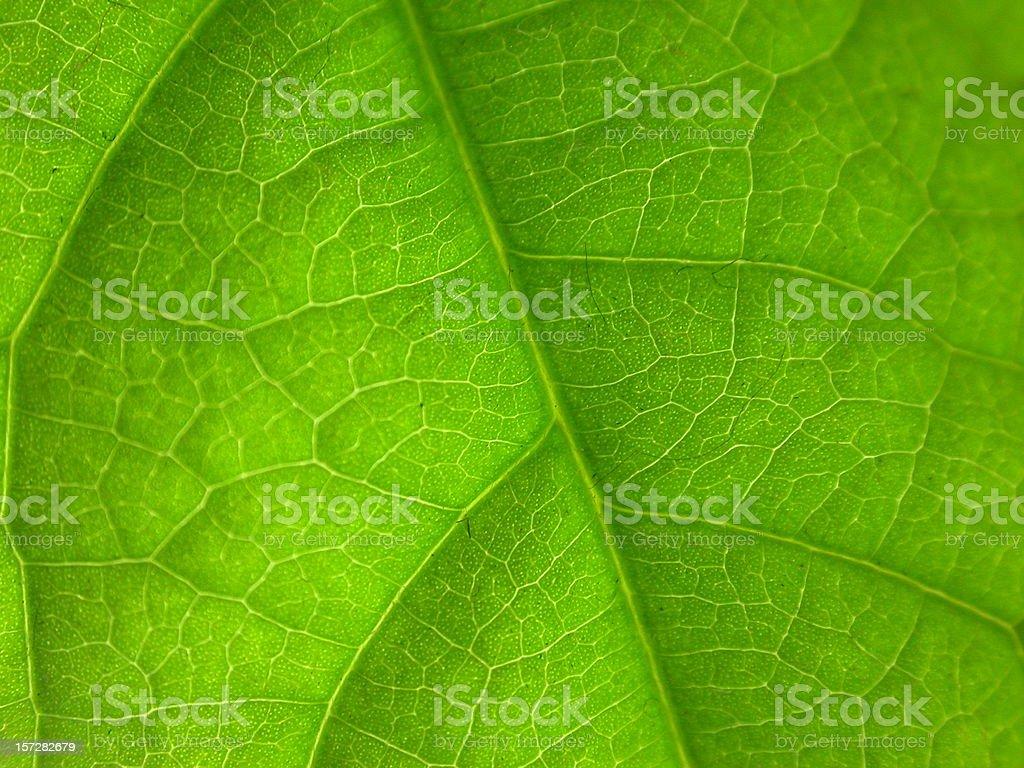 detailed macro green leaf nerfs royalty-free stock photo