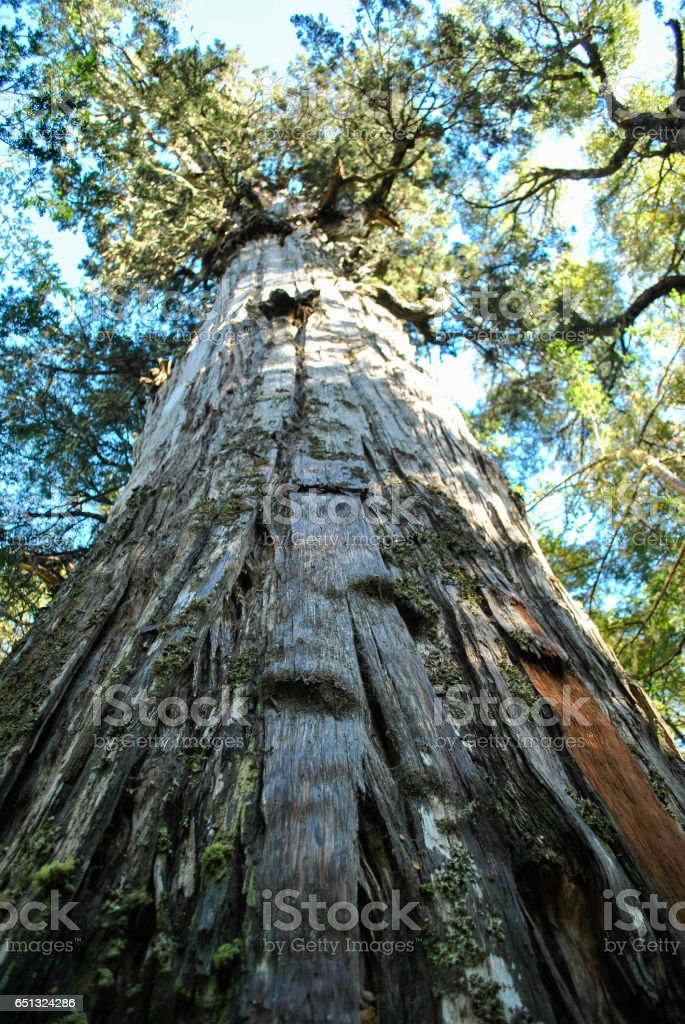 Detailed photograph from the ancient and old forest giants, the Alerce tree stock photo
