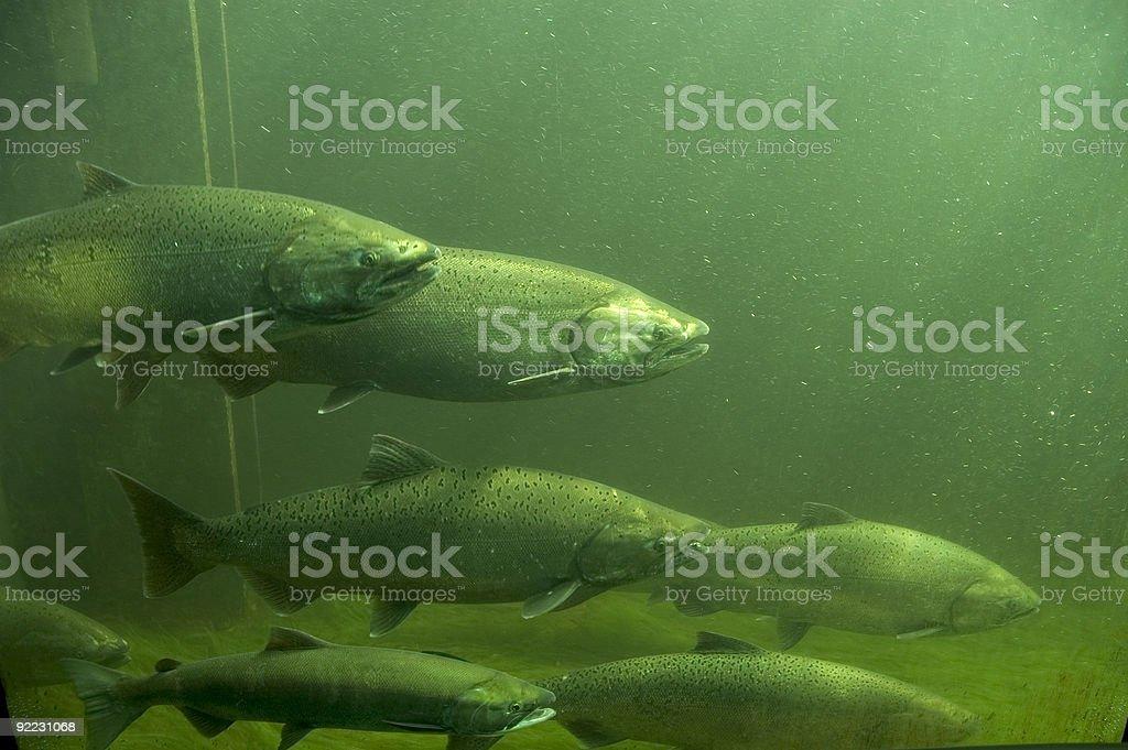 Detailed School of Salmon royalty-free stock photo