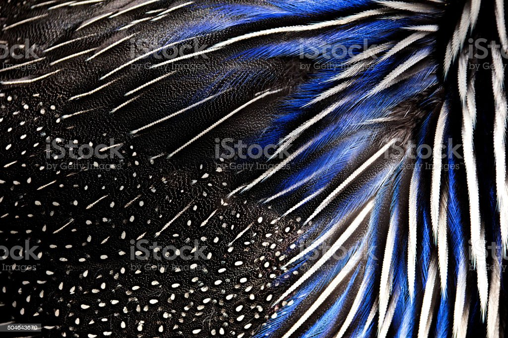 Detailed texture of white and blue pheasant feathers stock photo