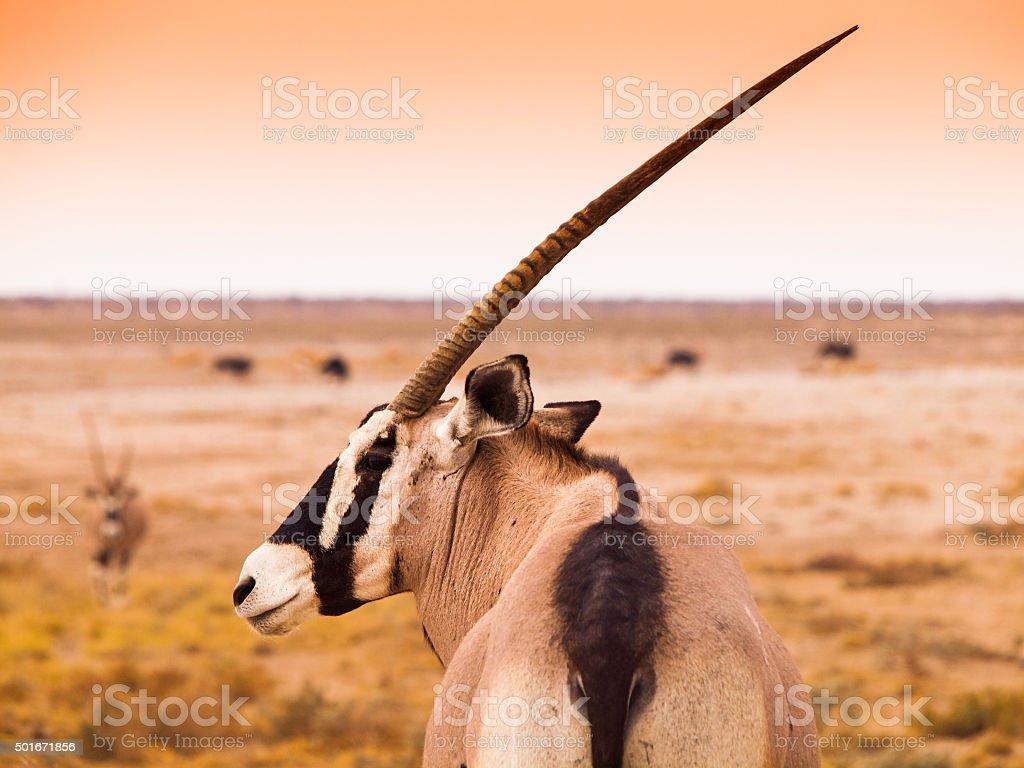 Detailed view of gemsbok antelope stock photo