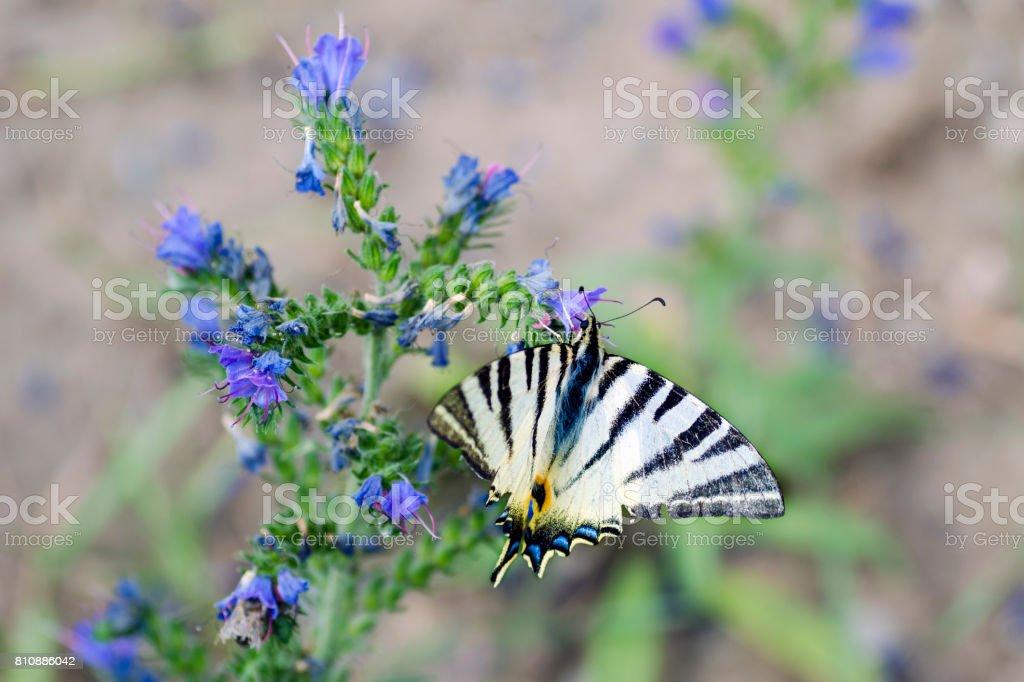 Detailní pohled na motýla - Iphiclides podalirius na kvtu Symphytum officinale stock photo