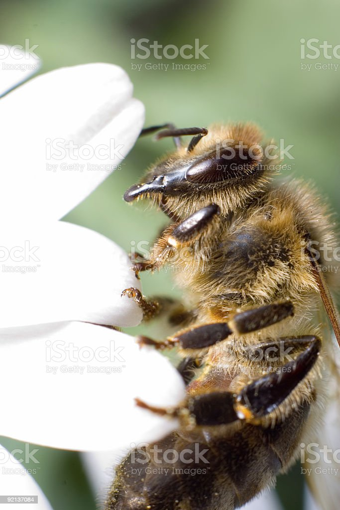 Details of a bee stock photo