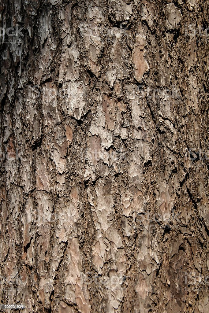 Details of dark brown pine tree stock photo