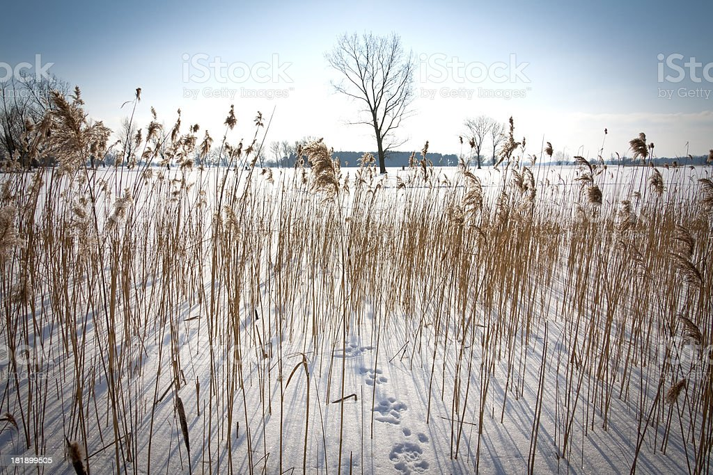 Details of Reed in Winter royalty-free stock photo
