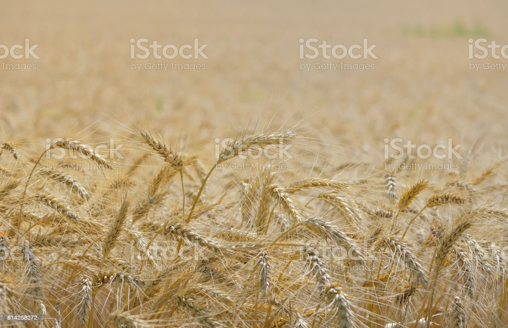 Details of ripe wheat field stock photo