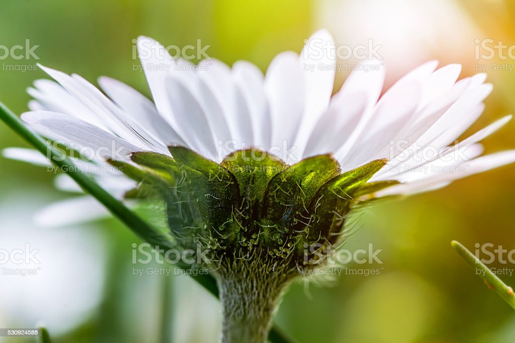 Details of small common Daisy flower macro view from below stock photo