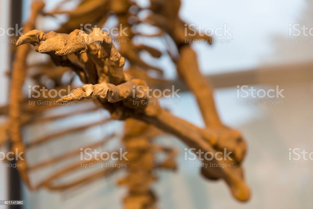 details of the skeleton of a fossil bear stock photo