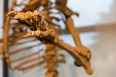 details of the skeleton of a fossil bear