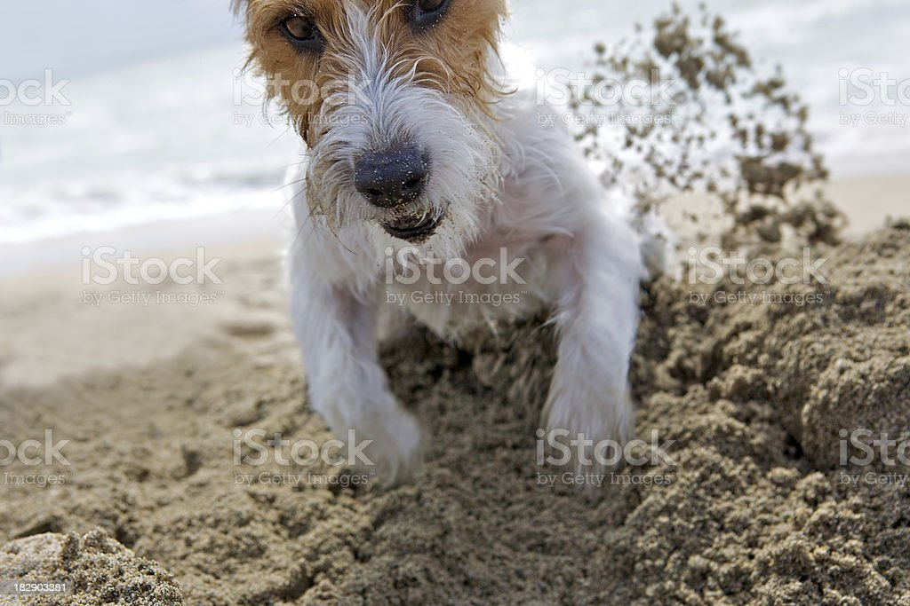 determined jack russell royalty-free stock photo