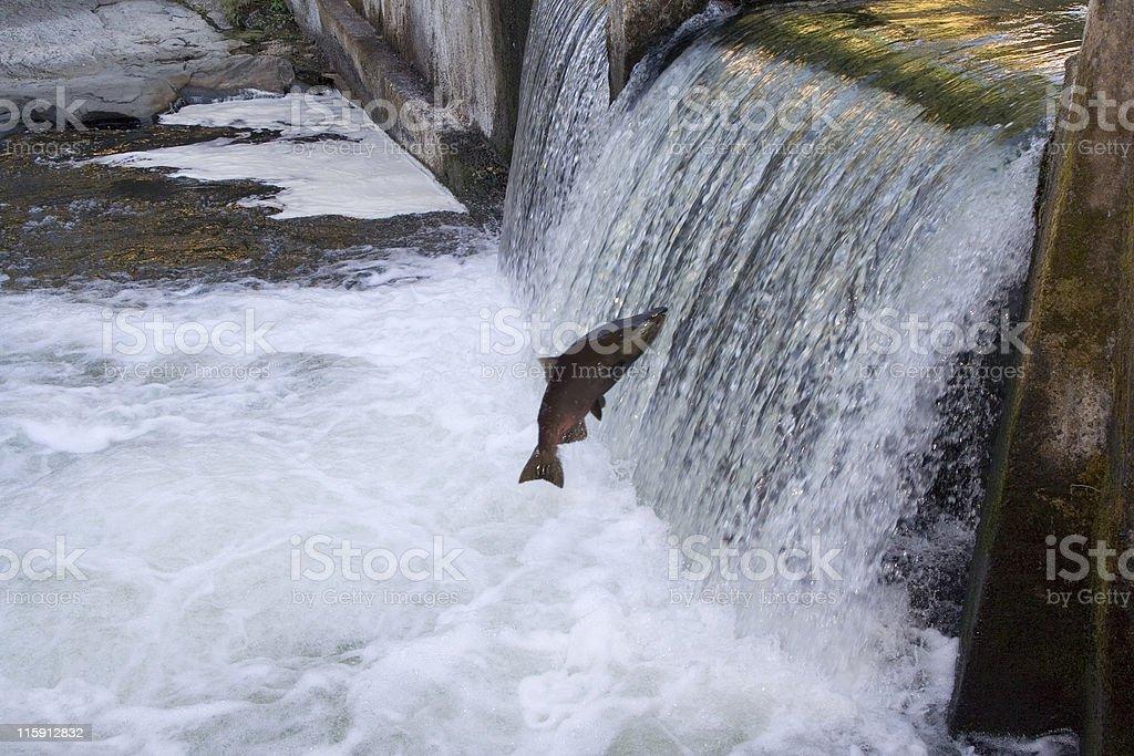 Determined Salmon stock photo