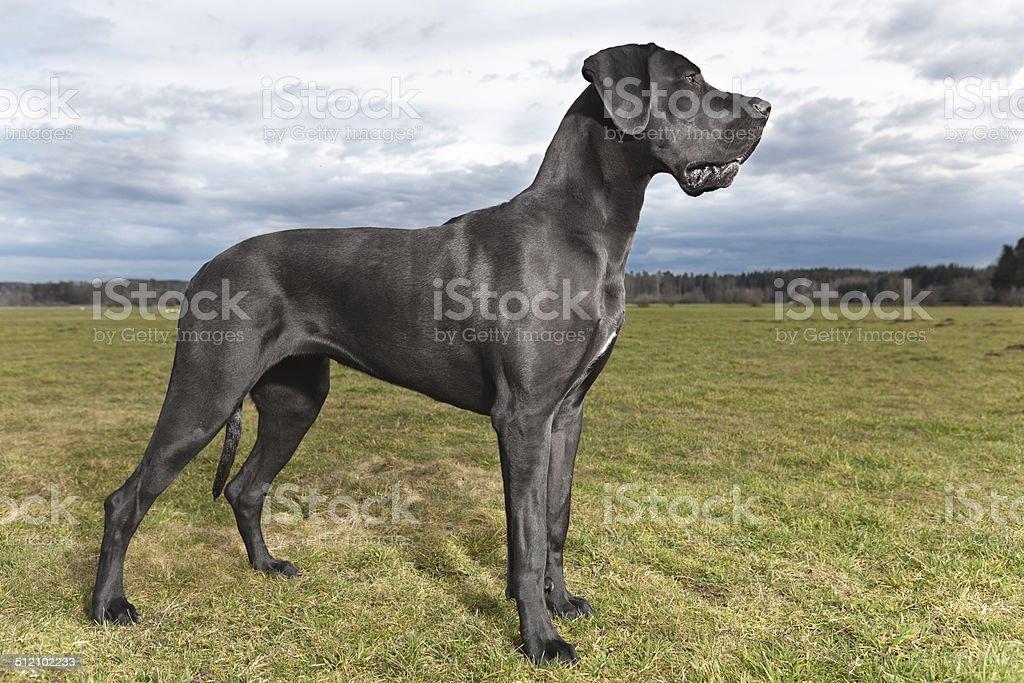 Deutsche Dogge 2 stock photo