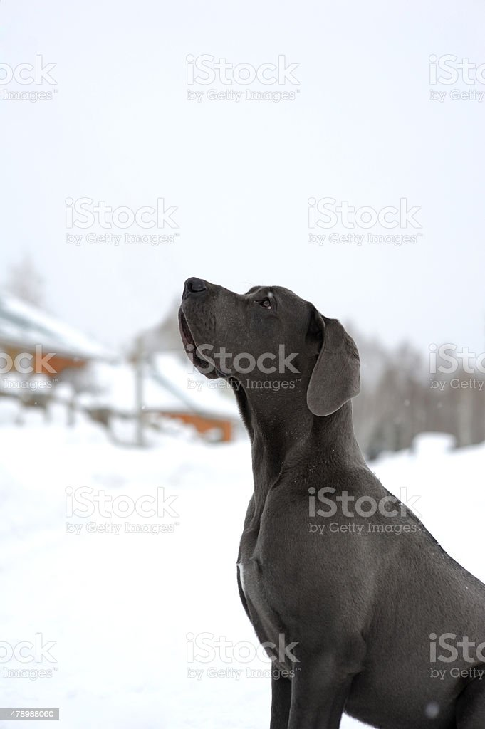 deutsche  dogge sitting on snow and lookng up stock photo
