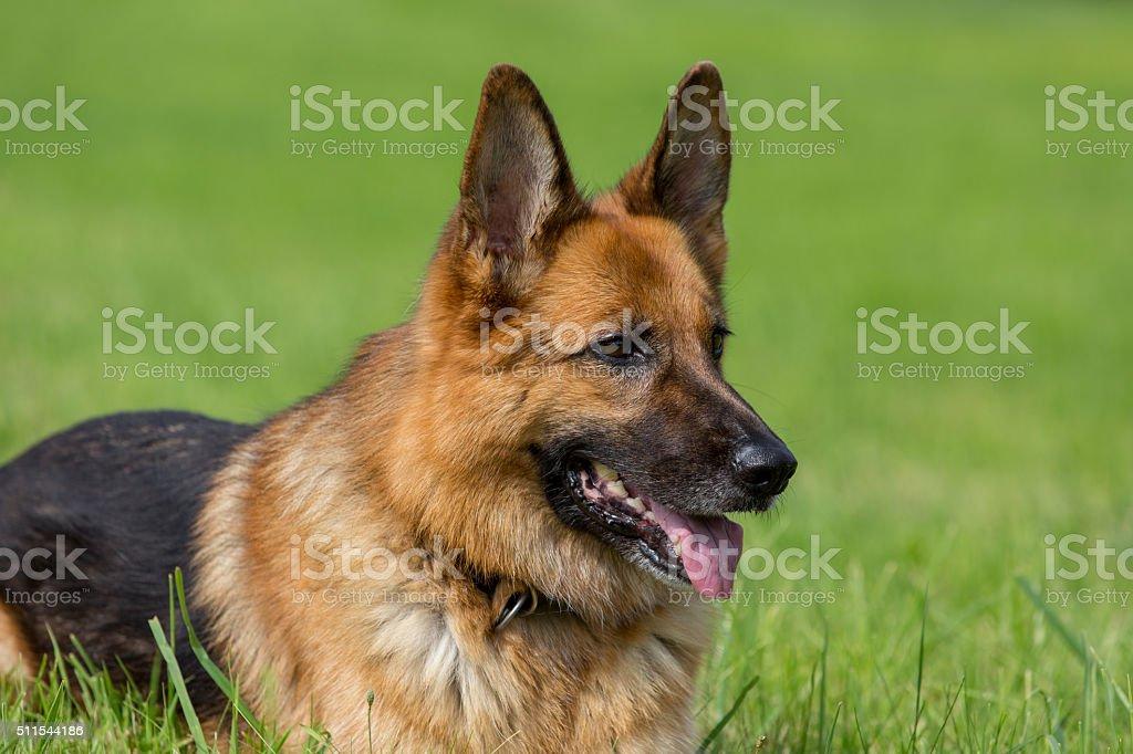Deutscher Schaeferhund liegt in Wiese stock photo