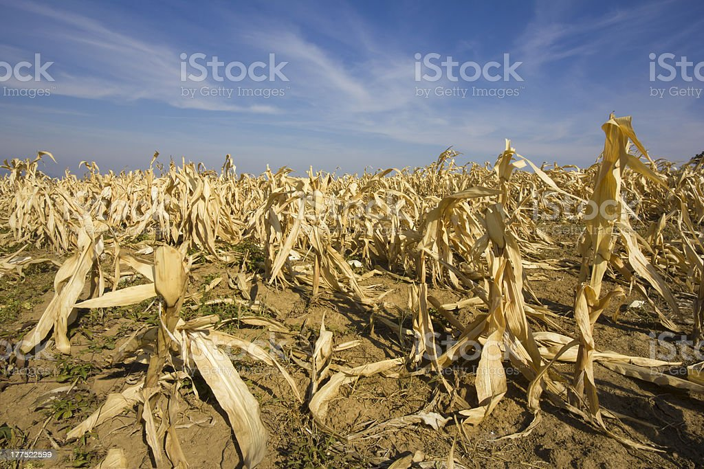 devastated corn field as a result of long time drought. stock photo