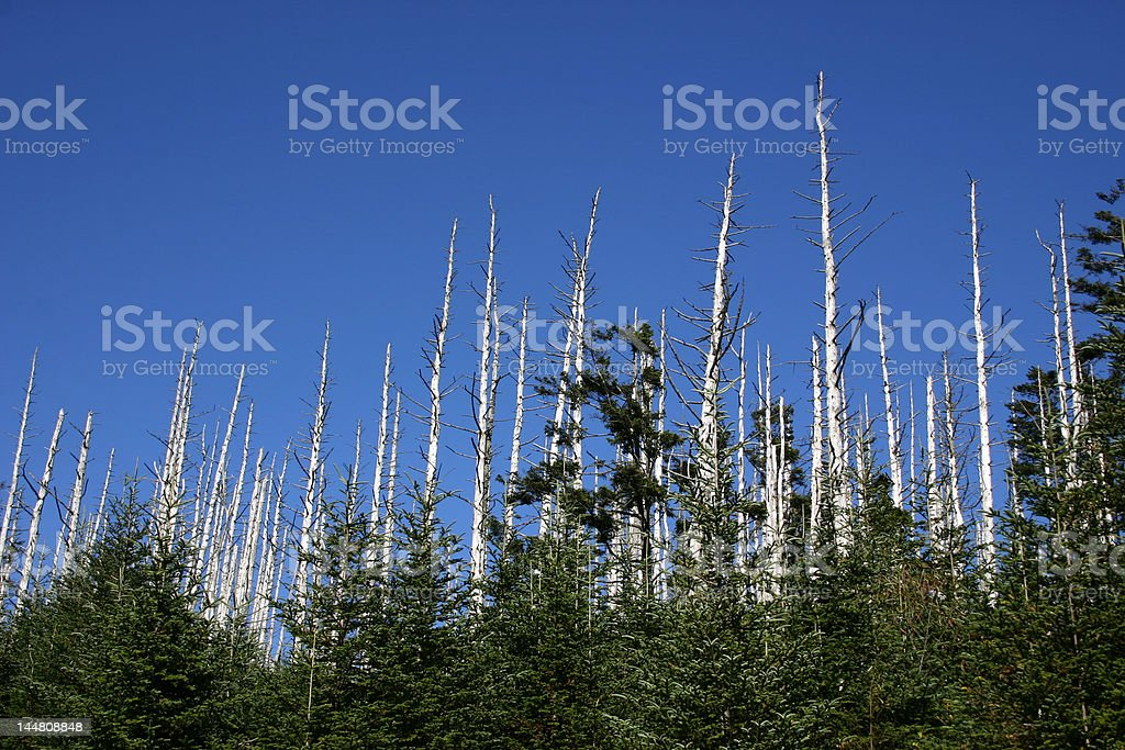 Devastation of Eastern Hemlock royalty-free stock photo