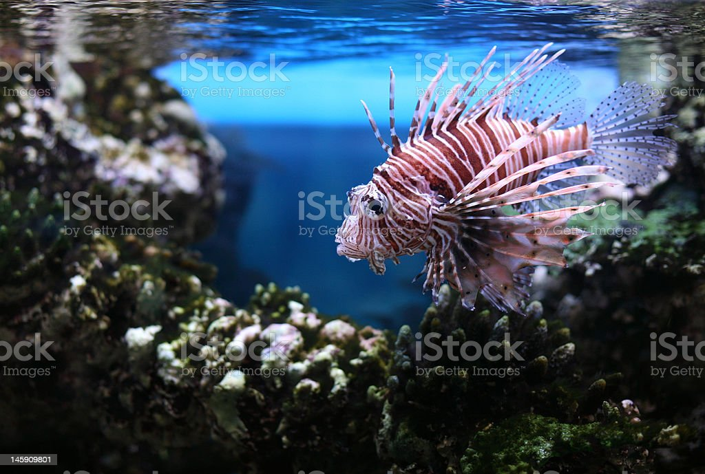 Devil Firefish royalty-free stock photo