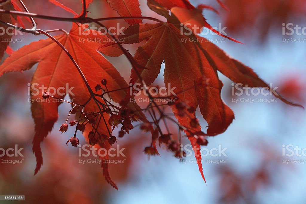 devils and angels in red maple leaves royalty-free stock photo