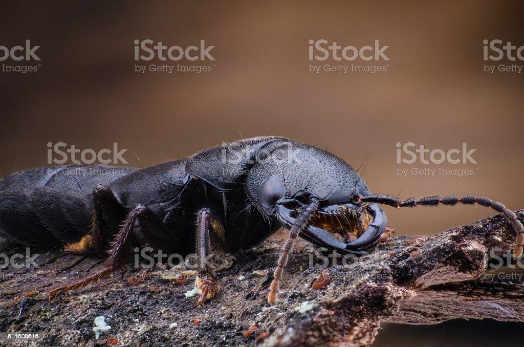 Devil's coach horse beetle stock photo