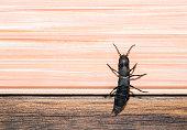 Devils coach horse bug