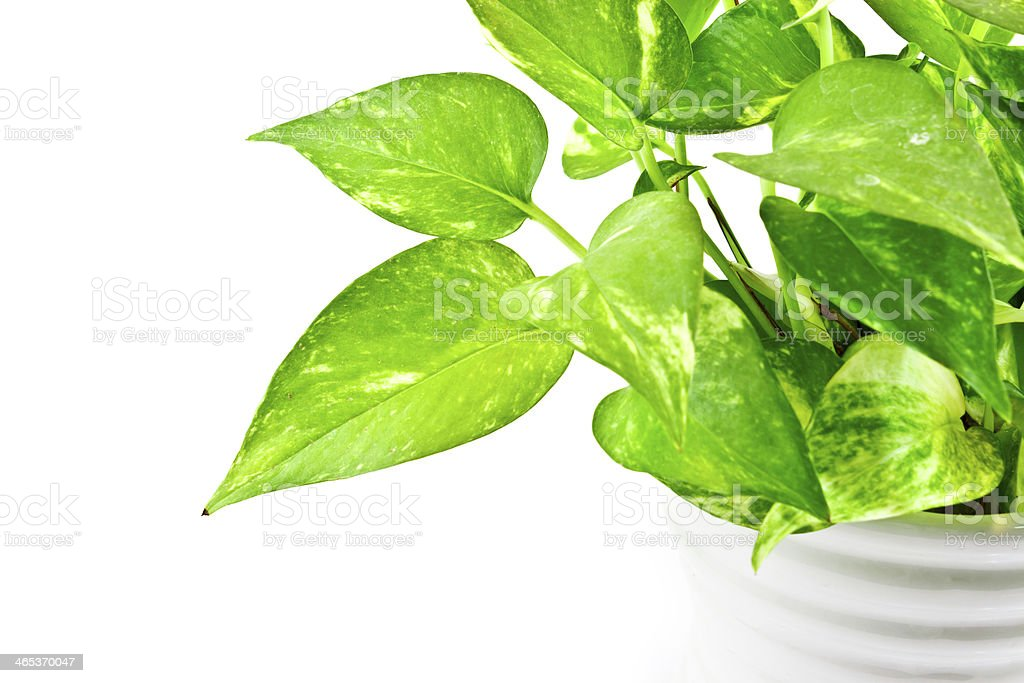 Devil's ivy on white background royalty-free stock photo