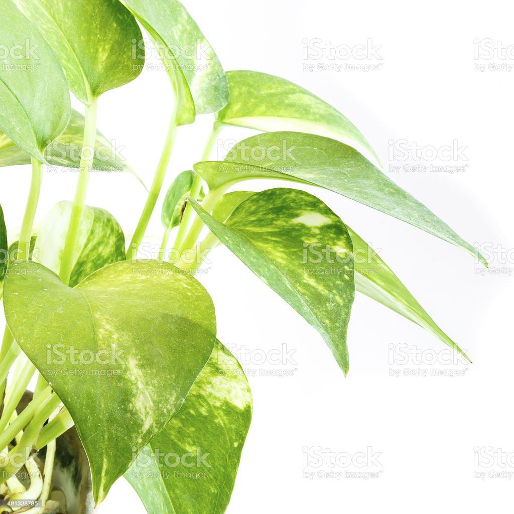 Devil's ivy on white background stock photo