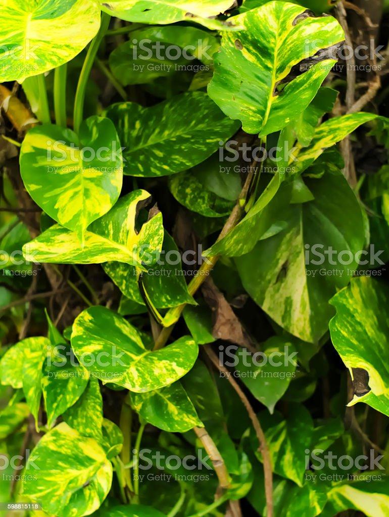 Devil's ivy or Epipremnum aureum, Scindapsus aureus stock photo