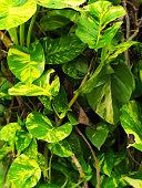Devil's ivy or Epipremnum aureum, Scindapsus aureus