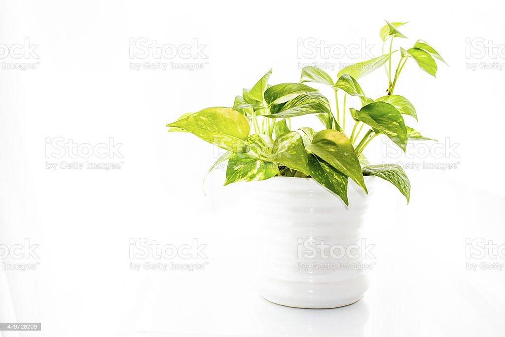 Devil's ivy stock photo