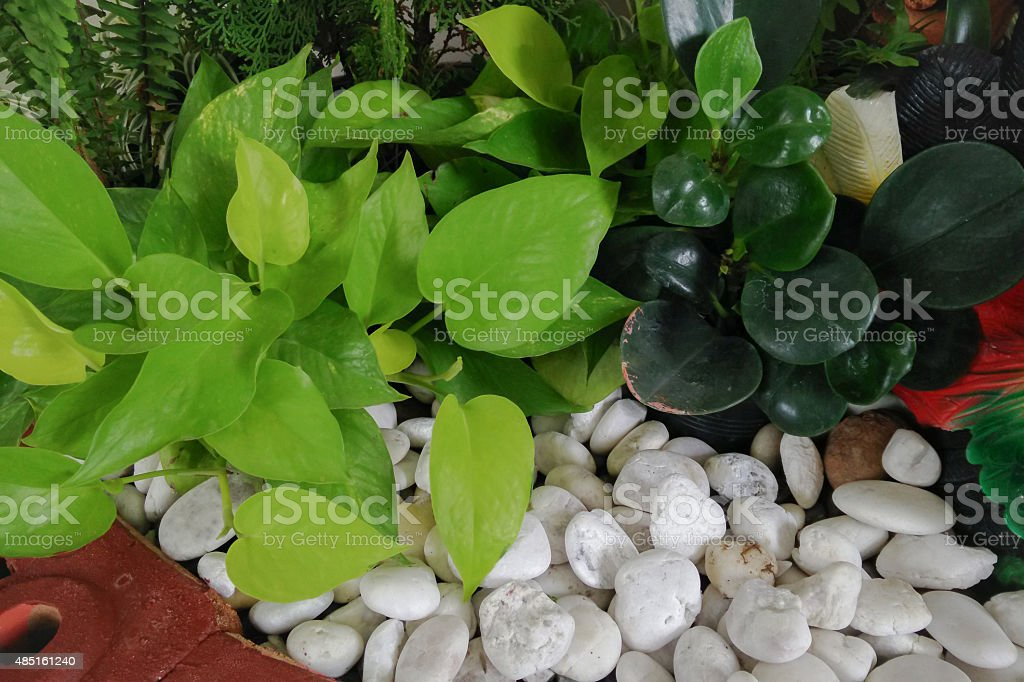 Devil's ivy with white pebbles stone in garden stock photo