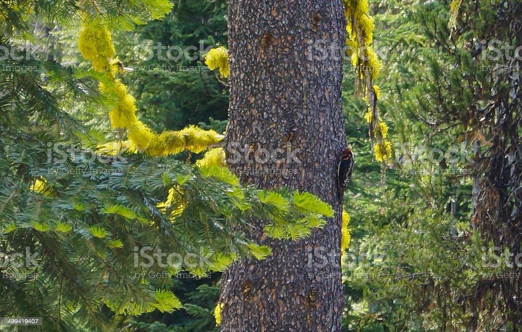 Devil's Woodpecker stock photo