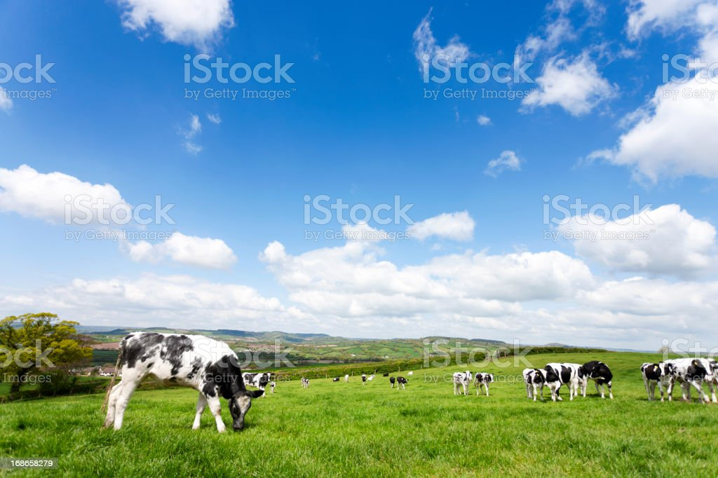 Devon field of cows royalty-free stock photo